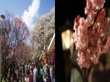 若旦那の日記(熱海梅園&あたみ桜、良い感じです)
